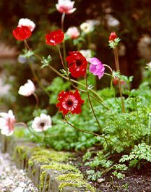 Anemone, 'Monarch de Caen' Mix (Spring Shipping)