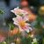 Dahlias_dahlia_appleblossom-2.small