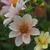 Dahlias: Dahlia 'Appleblossom'