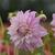 Dahlias_dahlia_bedford_blush-1.small