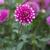 Dahlias_dahlia_brian_ray-3.small