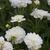 Dahlias_dahlia_bride_to_be-1.small