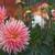 Dahlias_dahlia_brookside_cheri-1.small