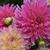 Dahlias_dahlia_cameo_peach-4.small