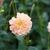 Dahlias_dahlia_chrichton_honey-1.small