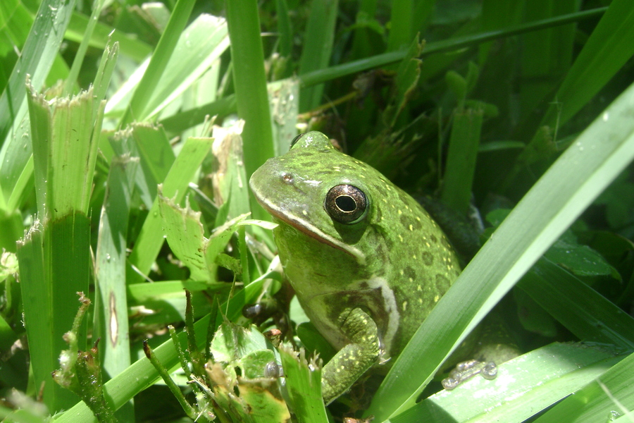 Frog_close.full