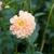 Dahlias_dahlia_crighton_honey-1.small