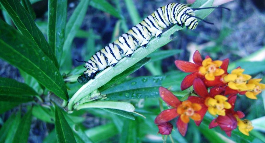 Monarch_butterfly_larvae_on_host_milkweed.full
