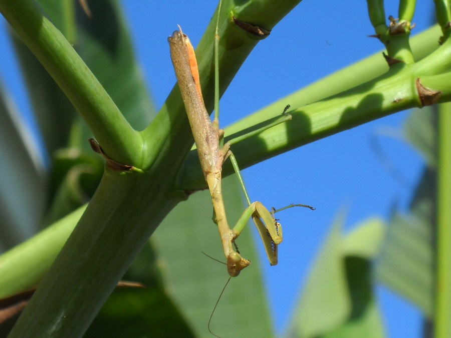 Praying_mantis.full