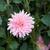 Dahlias_dahlia_gerrie_hoek-2.small