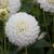 Dahlias_dahlia_gift-1.small