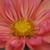 Dahlias_dahlia_giggles-3.small