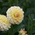 Dahlias_dahlia_grandma-1.small