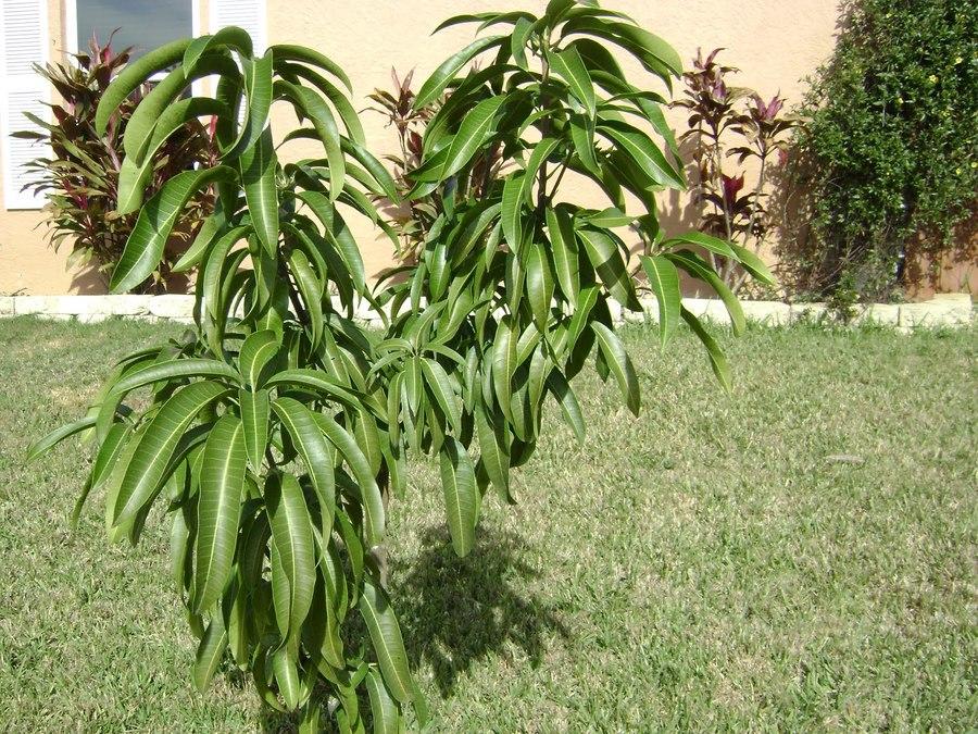 11010_mango_tree_1_.full