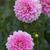 Dahlias_dahlia_heather_feather-1.small