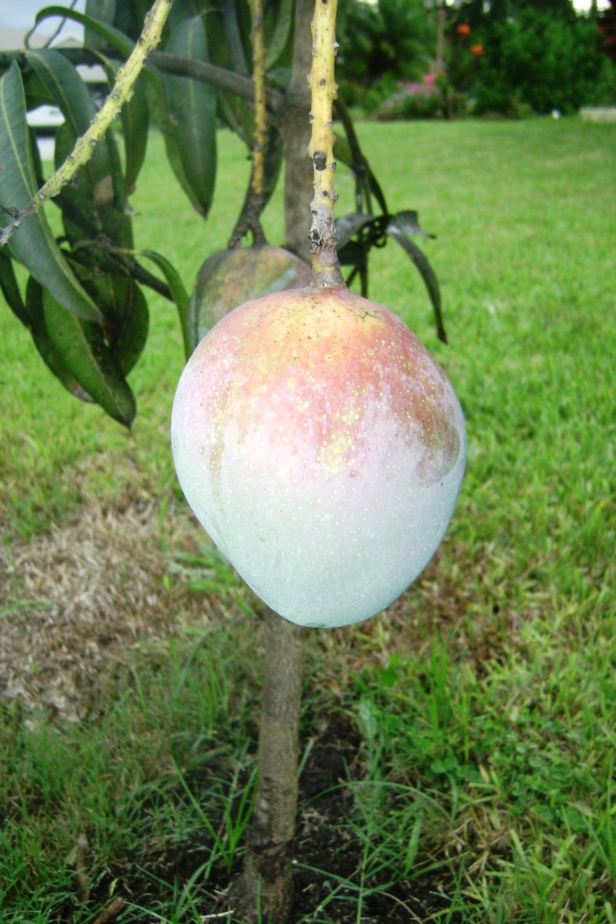 Mango_almost_ripe_july_10.full