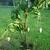 Mango_tree.small