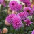 Dahlias_dahlia_herbert_smith-3.small
