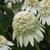 Coneflowers: Echinacea purpurea 'Milkshake'