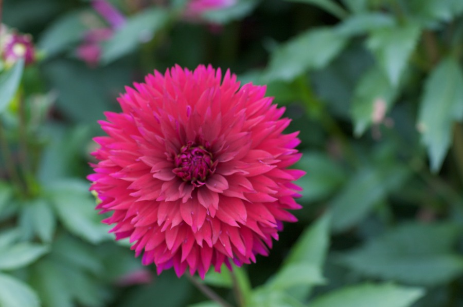 Dahlias_dahlia_imperial_wine-3.full