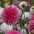 Dahlias_dahlia_lindy-3.small