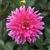 Dahlias_dahlia_lynette-2.small