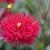 Dahlias_dahlia_merlot-2.small