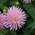 Dahlias_dahlia_miss_rose_fletcher-1.small