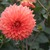 Dahlias_dahlia_neon_splendor-2.small