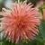 Dahlias_dahlia_orange_a_peel-2.small