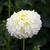 Dahlias_dahlia_parakeet-1.small