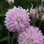 Dahlias_dahlia_pink_petticoat-1.small