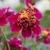 Dahlias_dahlia_queen_bee-2.small