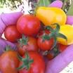 Ripe-tomatoes.thumb
