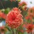 Dahlias_dahlia_red_head-1.small