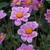Dahlias_dahlia_rosy_wings-1.small