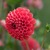 Dahlias_dahlia_ruskin_gypsy-1.small
