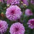 Dahlias_dahlia_seduction-1.small
