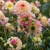 Dahlias_dahlia_september_morn-1.small