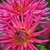 Dahlias_dahlia_she_devil-2.small
