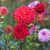 Dahlias_dahlia_sky_walker-2.small