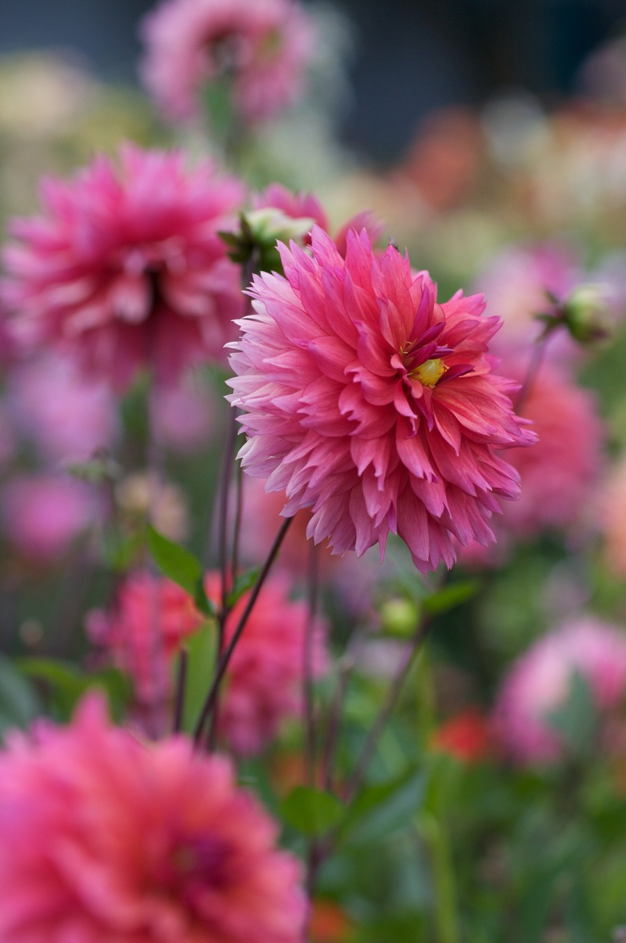 Dahlias_dahlia_sonic_bloom-2.full