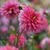 Dahlias_dahlia_sonic_bloom-2.small