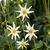 Dahlias_dahlia_star_child-1.small