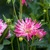 Dahlias_dahlia_sugar_lips-1.small