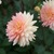 Dahlias_dahlia_summer-2.small