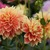 Dahlias_dahlia_swan-8.small
