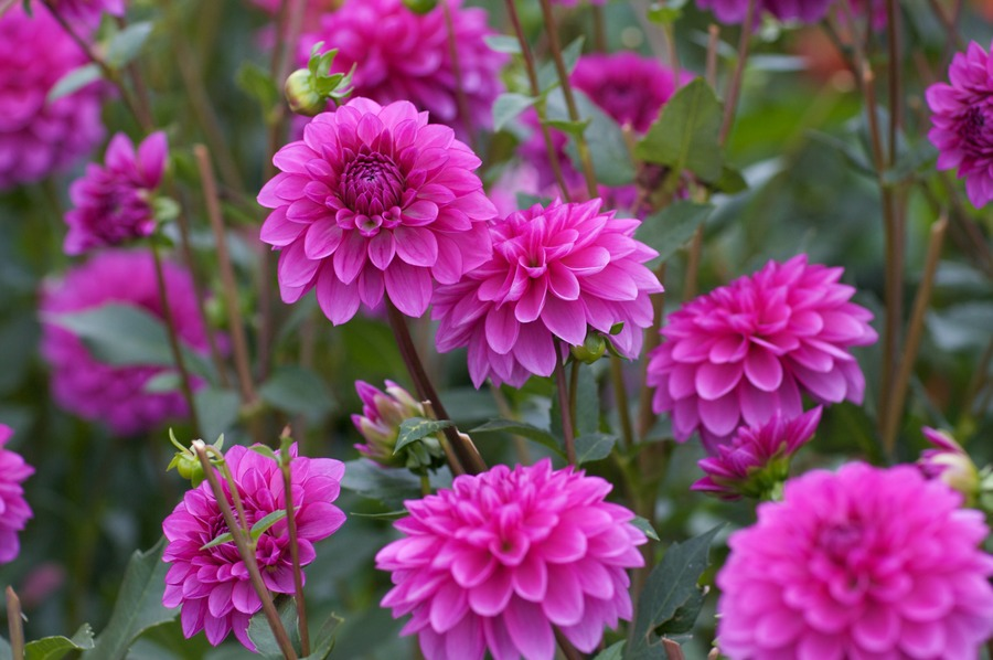 Dahlias_dahlia_ted-1.full