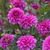 Dahlias_dahlia_ted-1.small