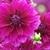 Dahlias_dahlia_thomas_edison-5.small